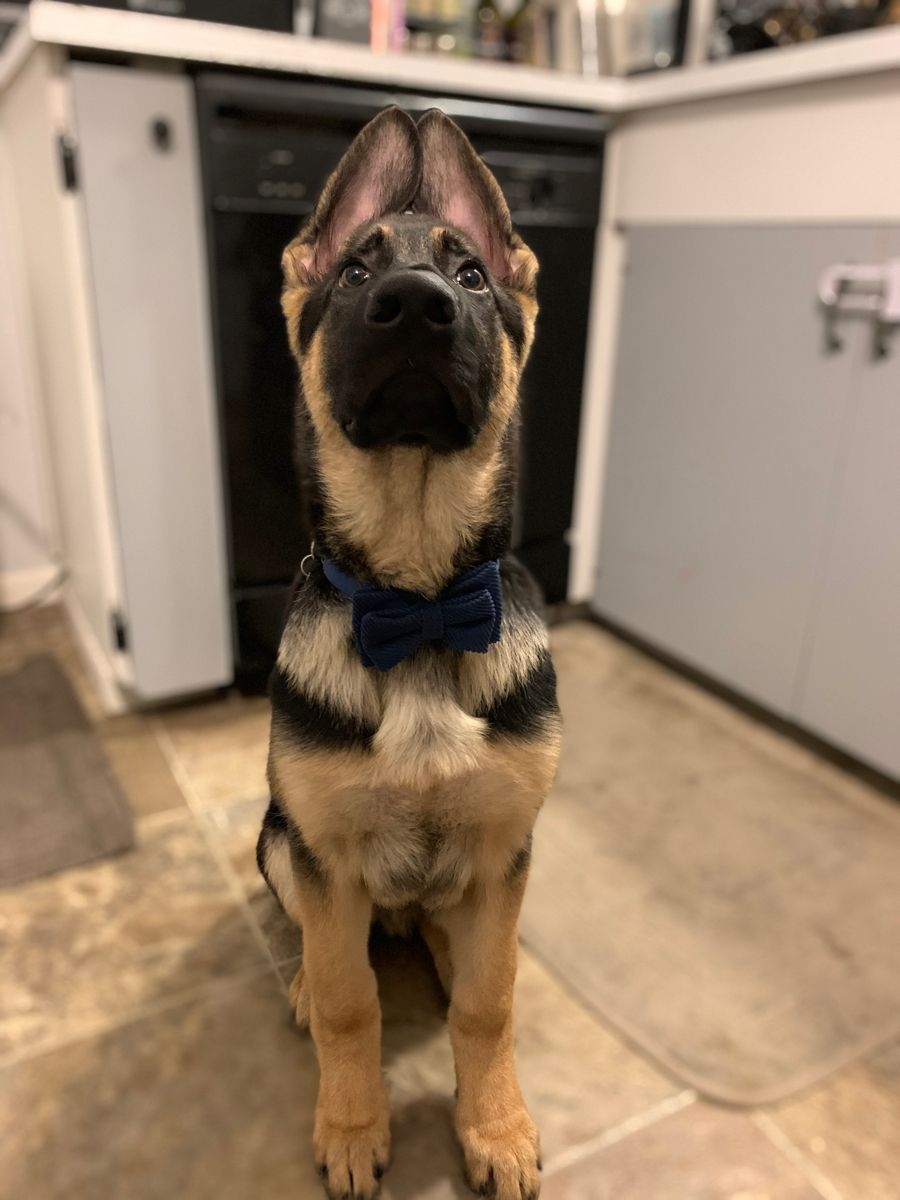 Scout in his best outfit #germanshepards