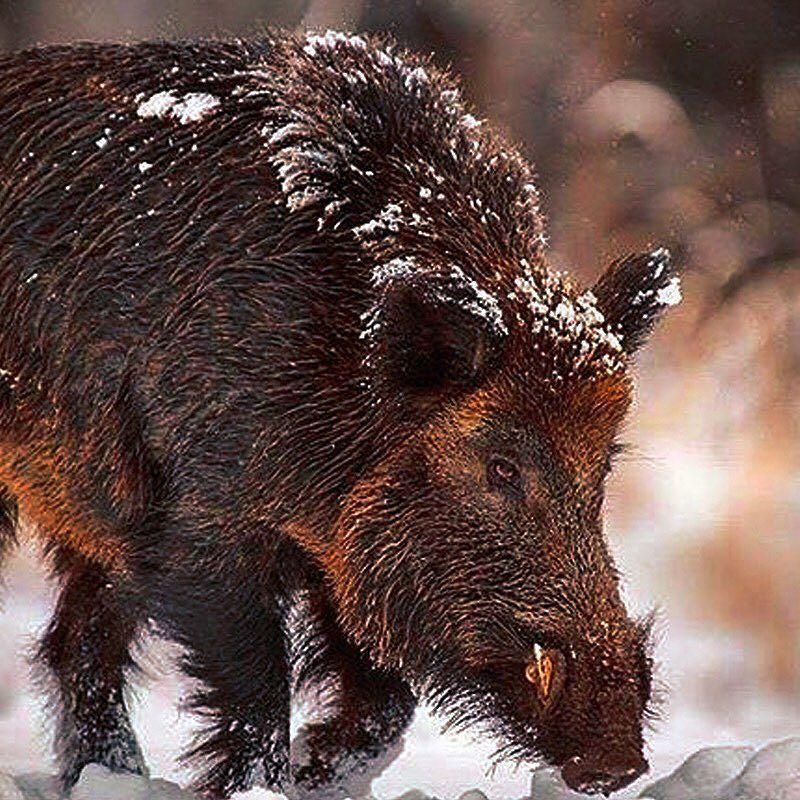 Boar Animal Brown Forest North Snow Sweden Scandinavia Snow Tusks Funny Wild Animals Wild Boar Animals Wild