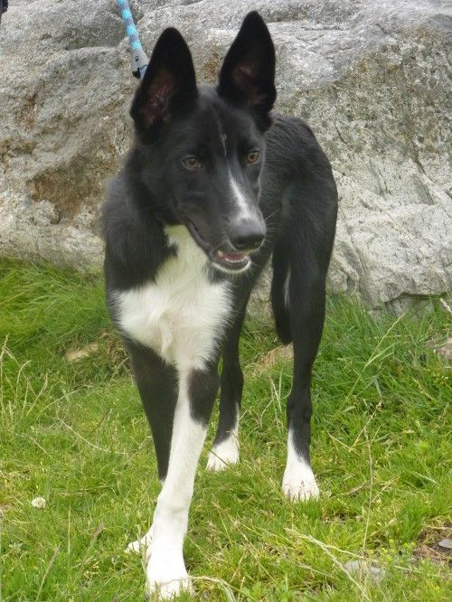 Stunning Whippet Collie Cross Cute Dogs Whippet Mix Whippet