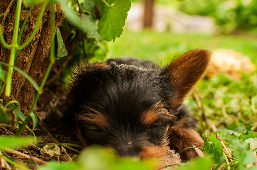 yorkshire terrier yorkie dark eyes black and brown small dog breed ...