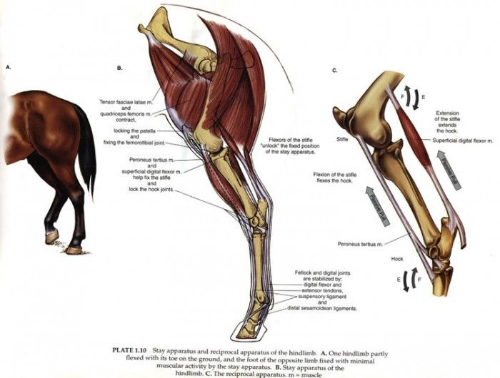 Equine & Science - For equine professionals - Rupture of the ...