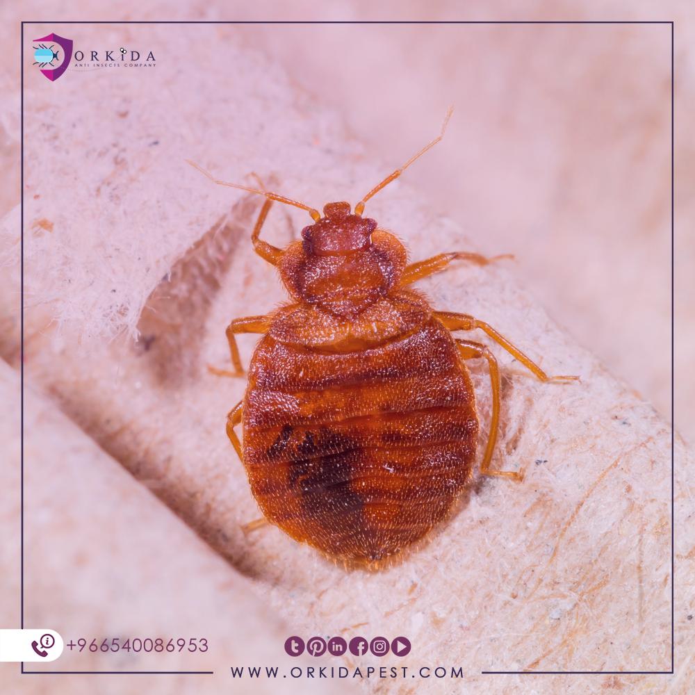 عندما تظهر اضرار بق الفراش نعلم أننا في مشكلة حقيقة وتحتاج إلى حل على الفور على الرغم من أن بق الفراش من المخلوقات الصغ Bed Bugs Kill Bed Bugs Bed Bug