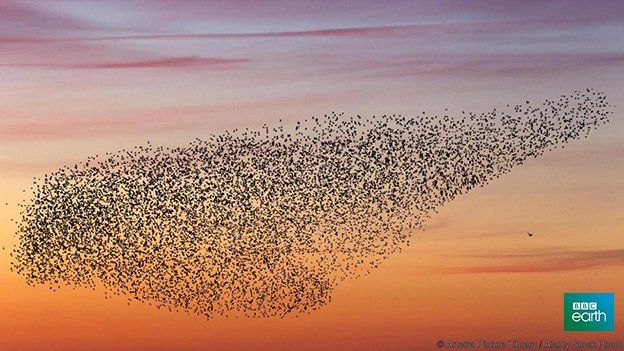 What shapes do you see in these murmurations? bbc.in/1jDGBn7
