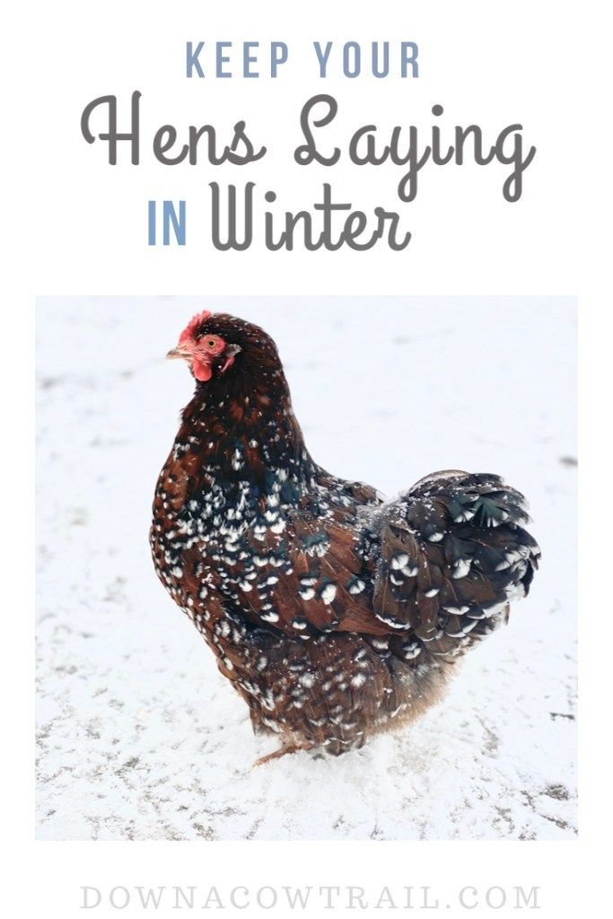 Keep Your Hens Laying In Winter in 2020 | Chickens ...