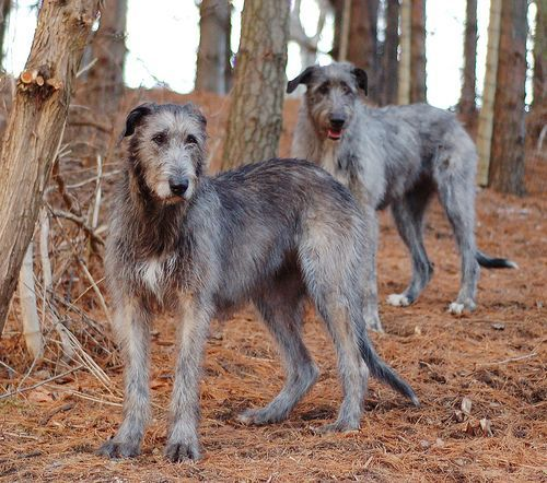 Irish Wolfhound Great Dane Mix Mix Pups White Age Wolfhound