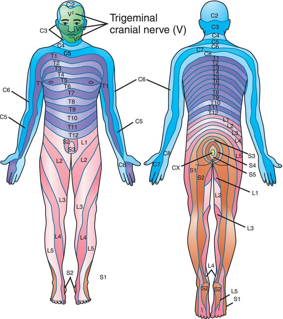 Full Size Picture dermatome.jpg | Georga | Pinterest