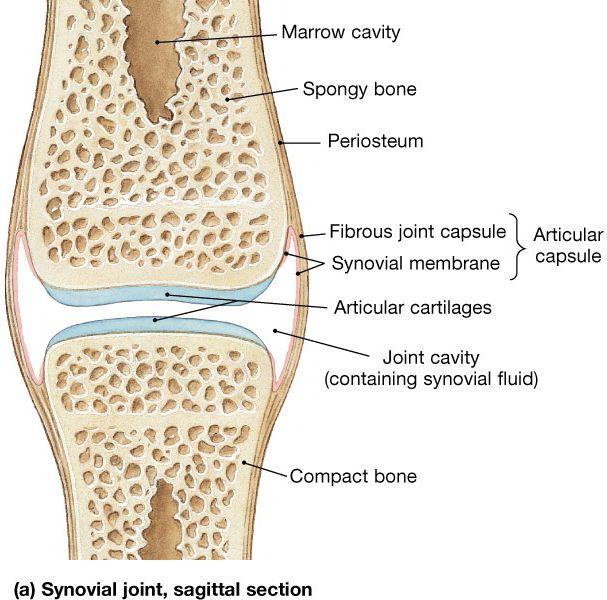 Finger Joint Anatomy Google Search Art Inspiration Pinterest