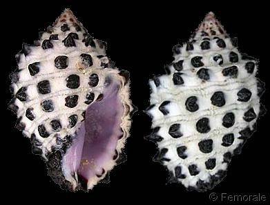 Morula (Morula) uva
