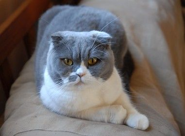 Scottish Fold Scottish Fold Cat Scottish Fold Cute Cats And Kittens