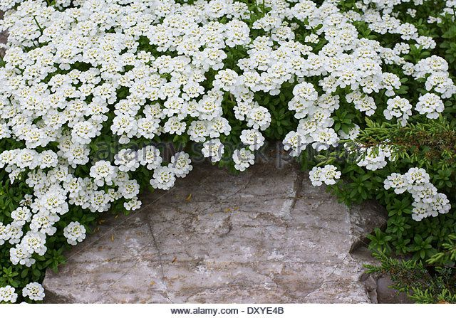 Planting Plan Iberis Sempervirens Purity Candy Tuft Plants Planting Plan Sempervirens