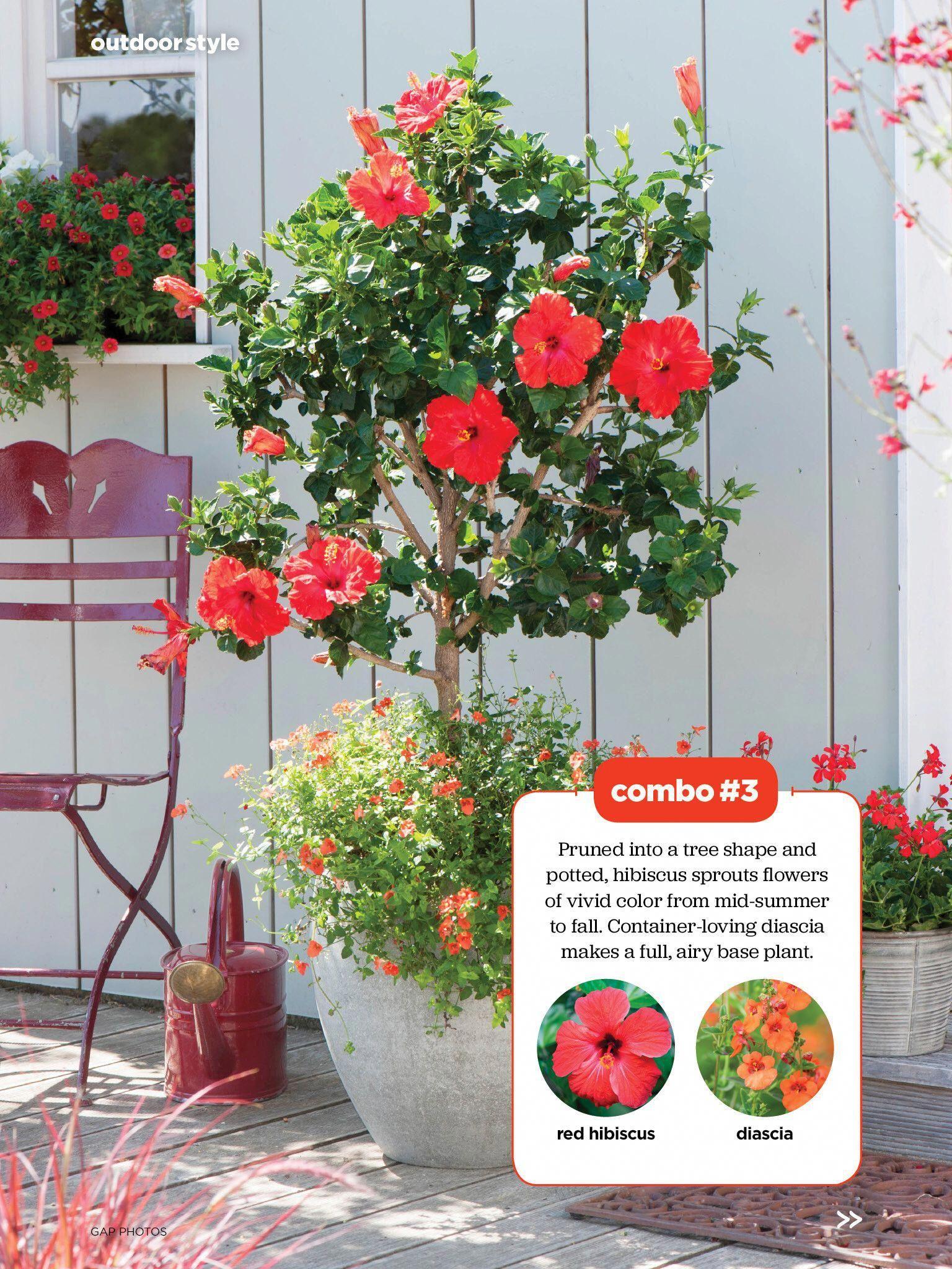 Hibiscus Flower Benefits In Hindi Hibiscus In 2020 Hibiscus Plant Hibiscus Tree Growing Hibiscus