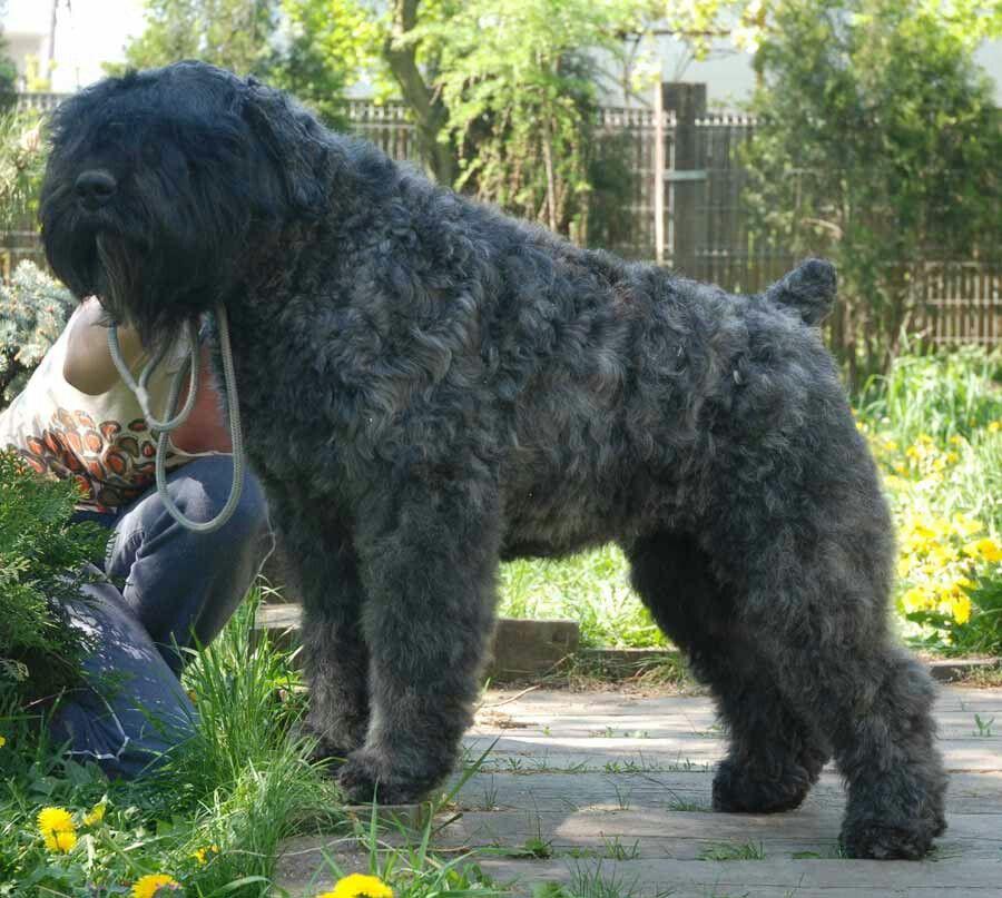 Bouvier des flandres with images dog breeds that dont