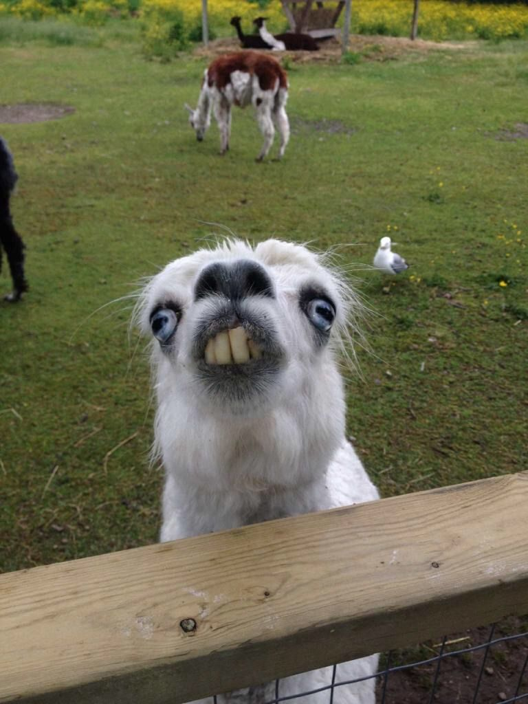 This Llama At The Petting Zoo Funny Animals Animal Jokes Cute Funny Animals