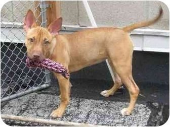 Pharaoh Hound American Staffordshire Terrier Mix Puppy For