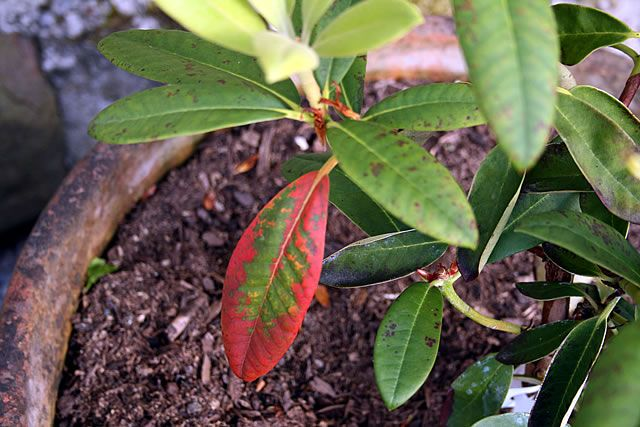 Rhododendron Diseases With Images Rhododendron Diseases