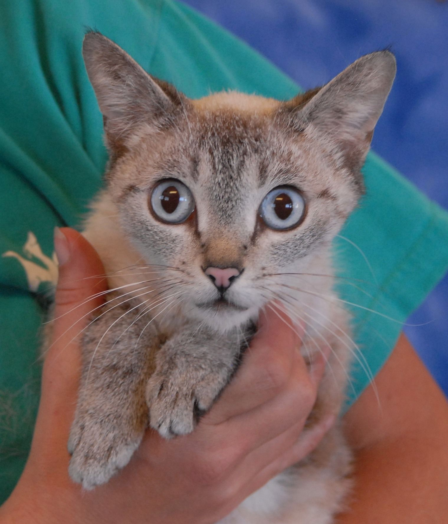 Candise is a dainty, gorgeous little lady who heartily purrs in your arms.  She is a Lynx Point Siamese, 3 years of age, now spayed and debuting for adoption at Nevada SPCA (www.nevadaspca.org).  Candise was pregnant at the time of rescue, left behind by previous owners who moved away without her.  She shortly thereafter had four babies.  All survived and they remain in foster care until they are old enough to be spayed/neutered and ready for adoption.