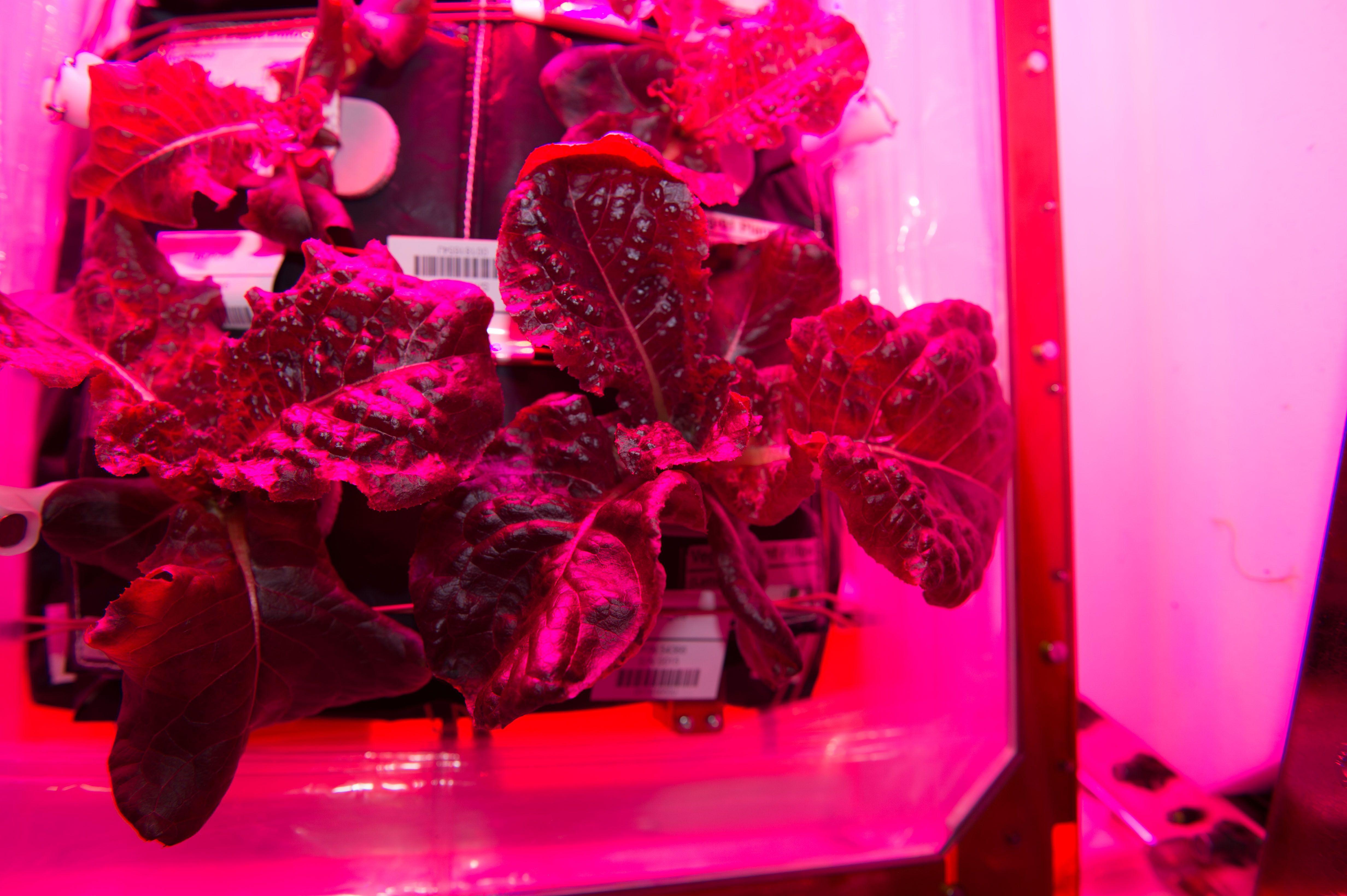 NASA '우주에서 상추 재배' 최초 성공 ⇨ '우주산 상추' 맛 보실래요?