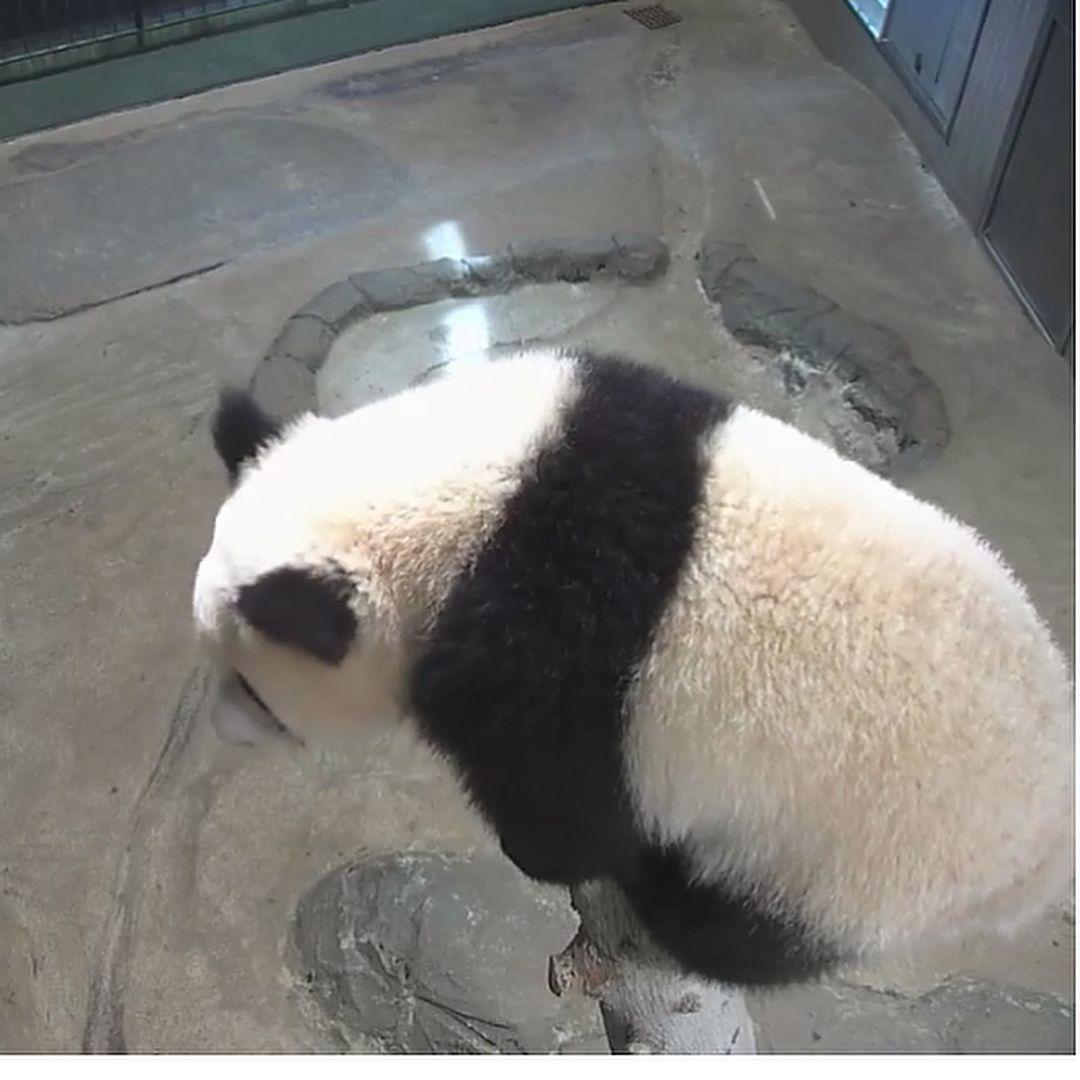 モフモフ ふわふわ触りたーい シャンシャン 上野動物園 パンダ シャンシャン パンダ