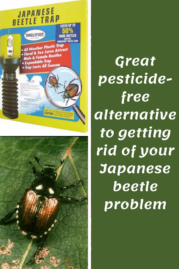 Do You Have Japanese Beetles In Your Garden I Do I Want To Get Rid Of Them Before Japanese Beetles Japanese Beetle Control Getting Rid Of Japanese Beetles