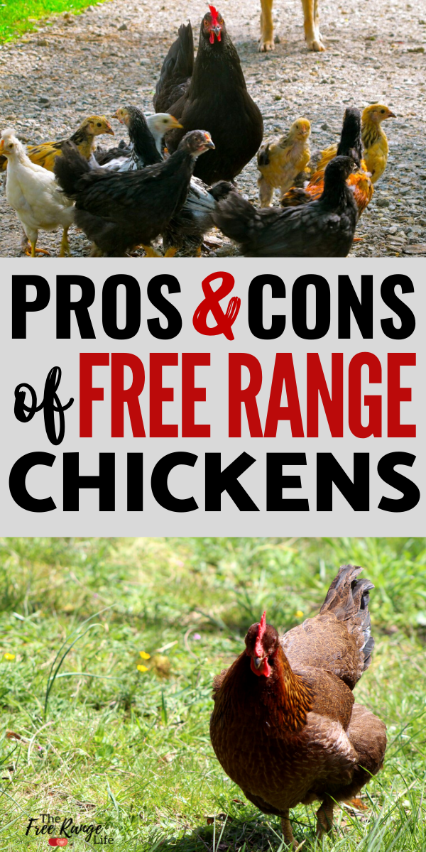 The Pros and Cons of Free Range Chickens - Are They Right ...