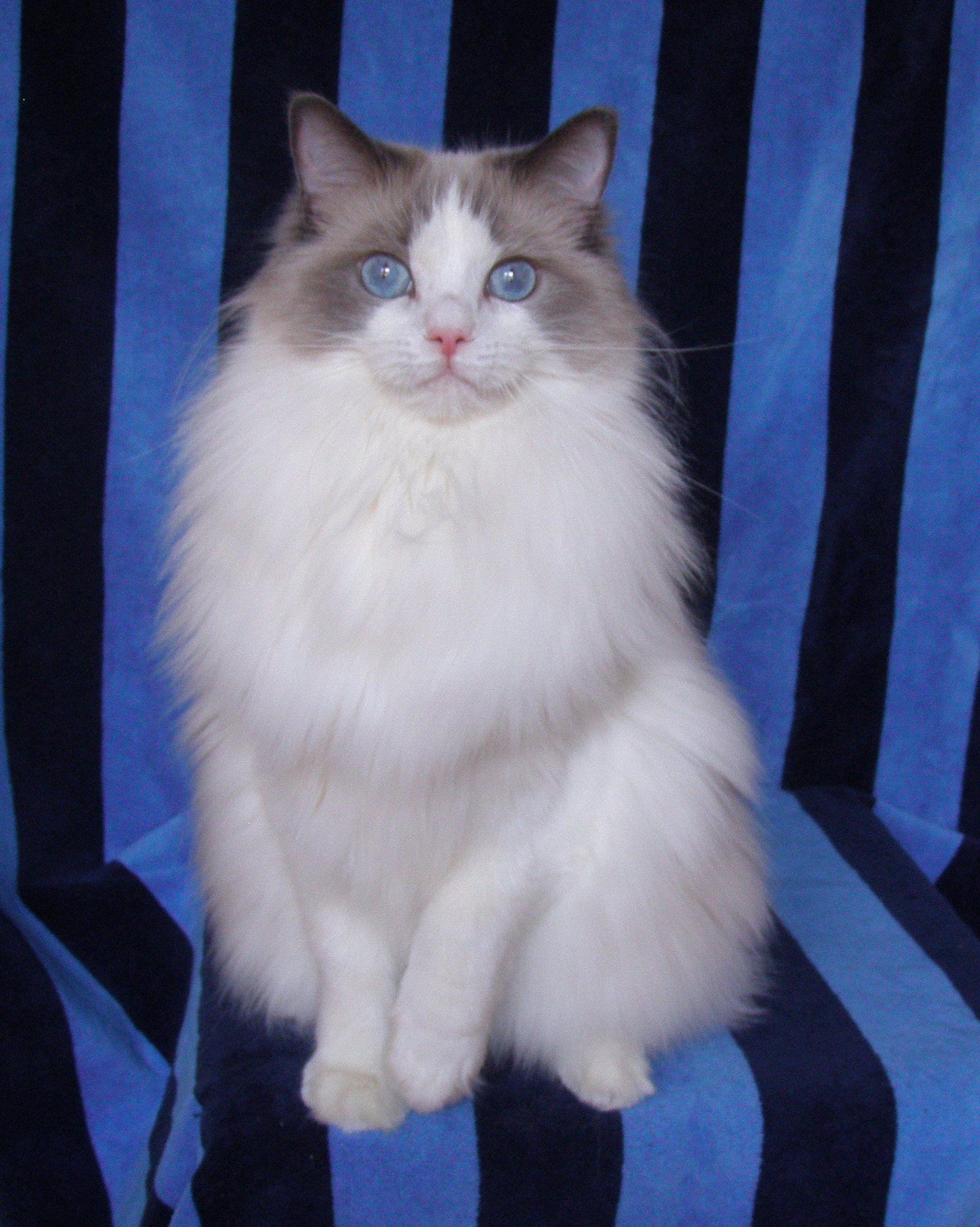 Emi. A blue bicolor ragdoll. Ragdoll cat, Cute cats and