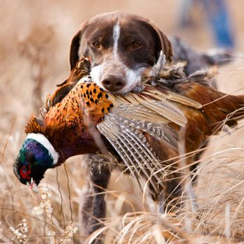 Duck Hunting Supplies And Retriever Training Gear Hunting Dogs