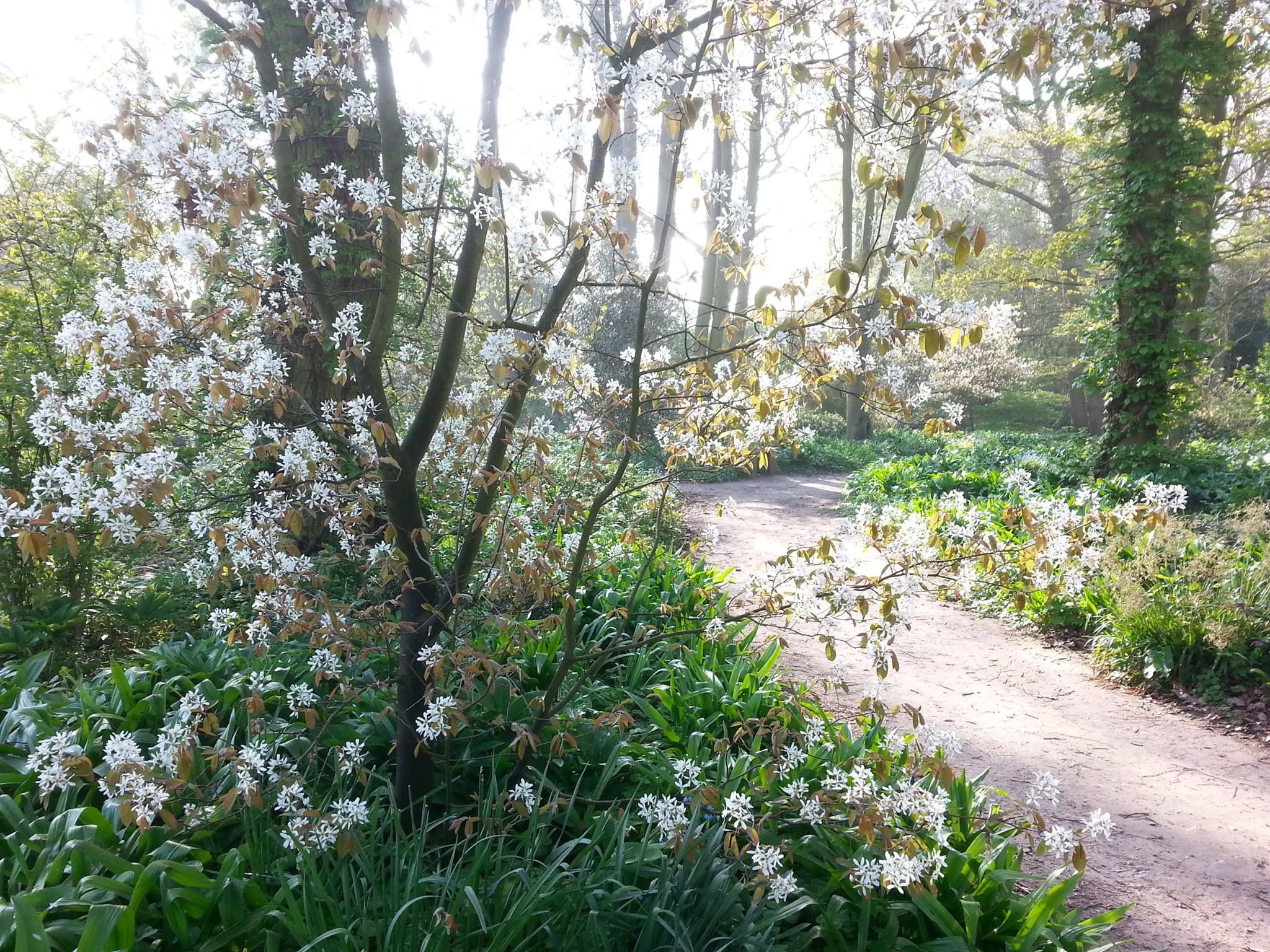 Amelanchier Lamarckii Or Snowy Mespilus Great Tree For A Small