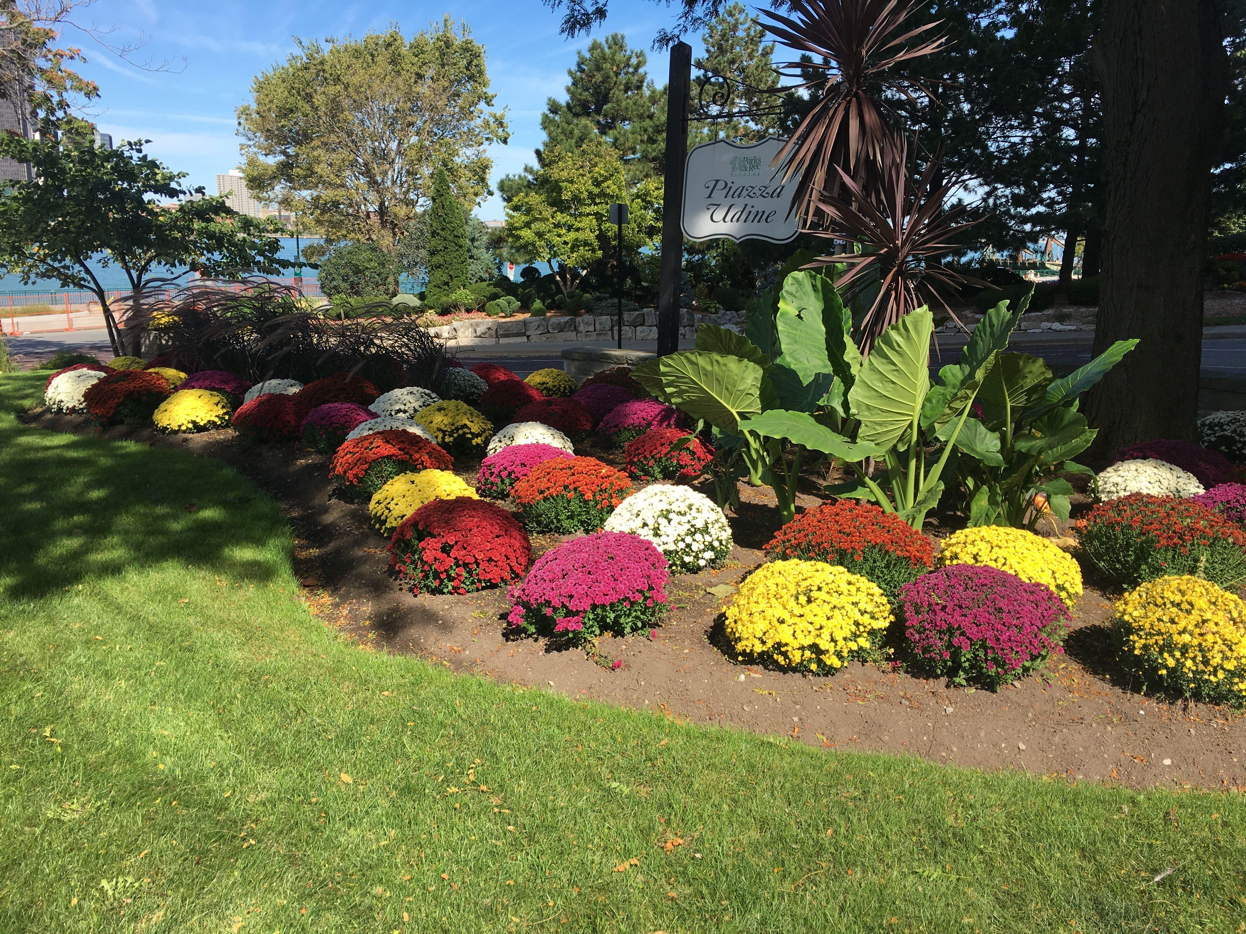 Stunning Mum Garden In Windsor, Ontario Canada. #flowers #fall #gardening