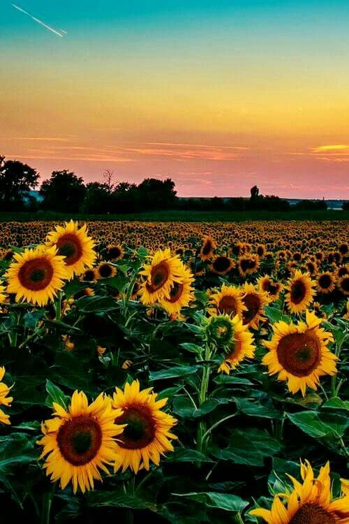 Sunflowers In A Sunset Sthetic Flowers Beautiful Flowers