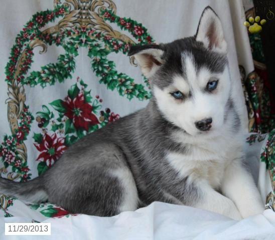 Siberian Husky Puppy For Sale Husky Puppies For Sale Husky