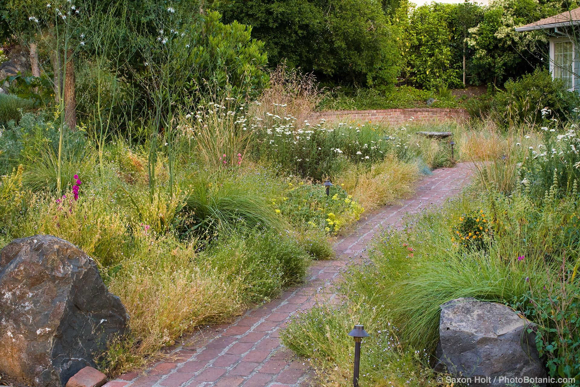 path through california native plant front yard meadow garden with native grasses and perennials