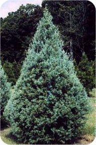 Arizona Cypress Types Of Christmas Trees Christmas Tree Varieties Christmas Tree Farm