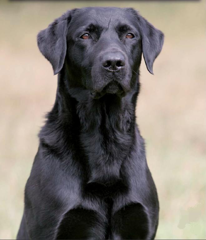 Très Bébé-chien-Labrador-Retriever-noir-3.jpg 660×768 pixels | Enfants  ZI43