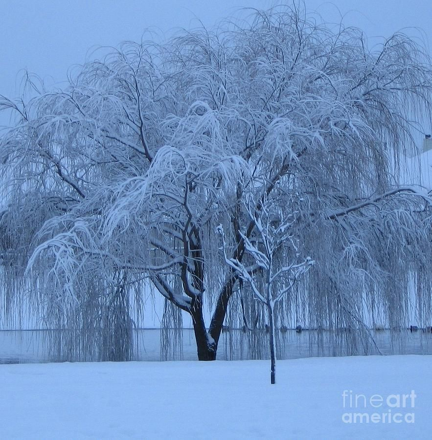 Winter Willow Tree Before Dawn Fort Worth Tx Photograph By Barbara Weeping Willow Art Pictures How To Make Snow