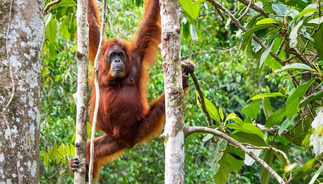 At The 4 Merdeka Palace Hotel Suites With London Flights Orangutan Rehabilitation Centre Visit And Dolphin Watching Tour From Borneo Orangutan Rainforest