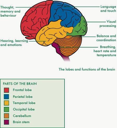 Cerebrum Function | Human anatomy chart, Brain anatomy ...