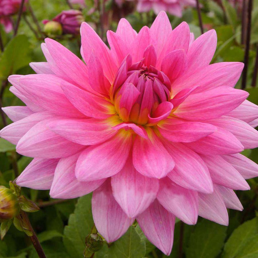 Dahlia Bulbs Lowes Com Planting Bulbs Dahlia Bulb