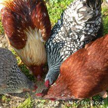 Backyard chicken coops 101