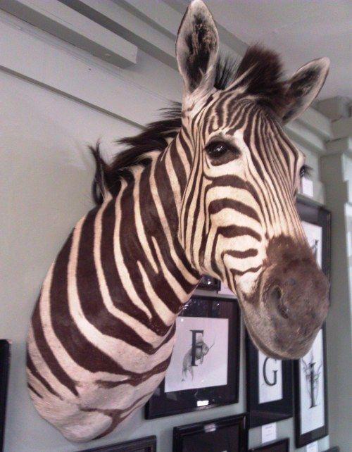 zebra head taxidermy liberty | Wall decor | Pinterest | Taxidermy ...