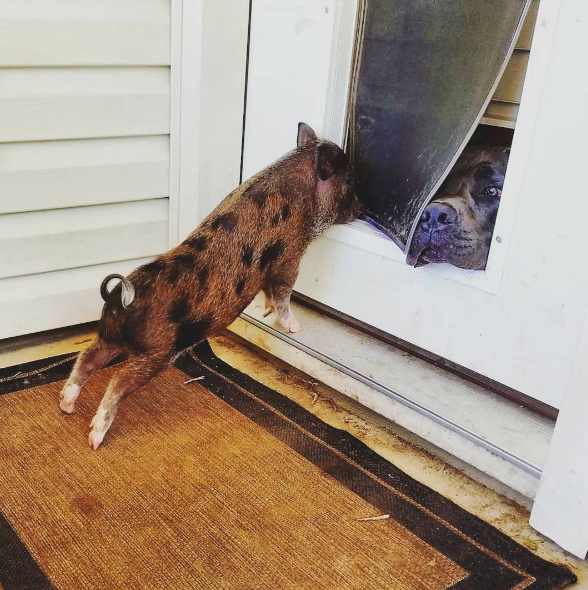 And this duo who won't let anything get in the way of their friendship, especially an uncooperative doggy door.   19 Interspecies Friendships That Will Thaw Your Cold, Dead Heart