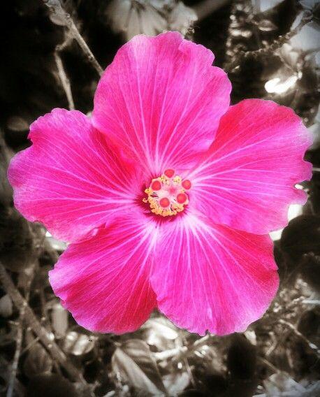 Color Splash Hibiscus Flower Colorsplash Photography Flower Pink Color Splash Color Splash Photo Hibiscus Flowers