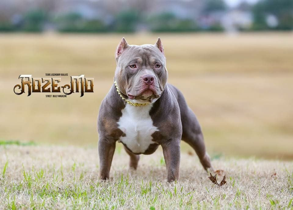 Best Extreme Build Pocket American Bully Breeder Texas