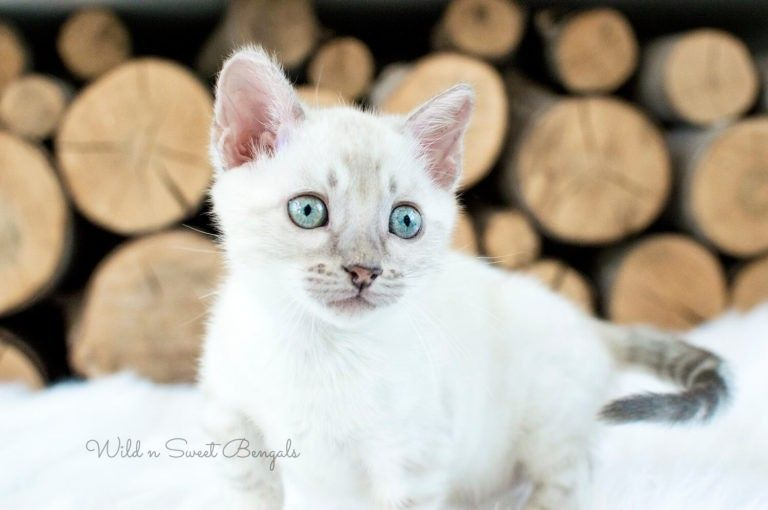 Bengal Kittens Cats For Sale Near Me Bengal Kitten Bengal Kittens For Sale Cats For Sale