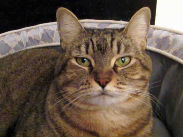 Gigi Is Available For Adoption In Austin Texas She Is An 8 Year Old Spayed Brown Tabby She Is A Little Shy But Loves Attention Pets Pet Adoption Cute Cats