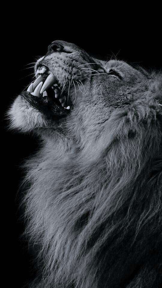 Leo Love Schwarzer Löwe Weiße Löwen Und Löwe Fotografie