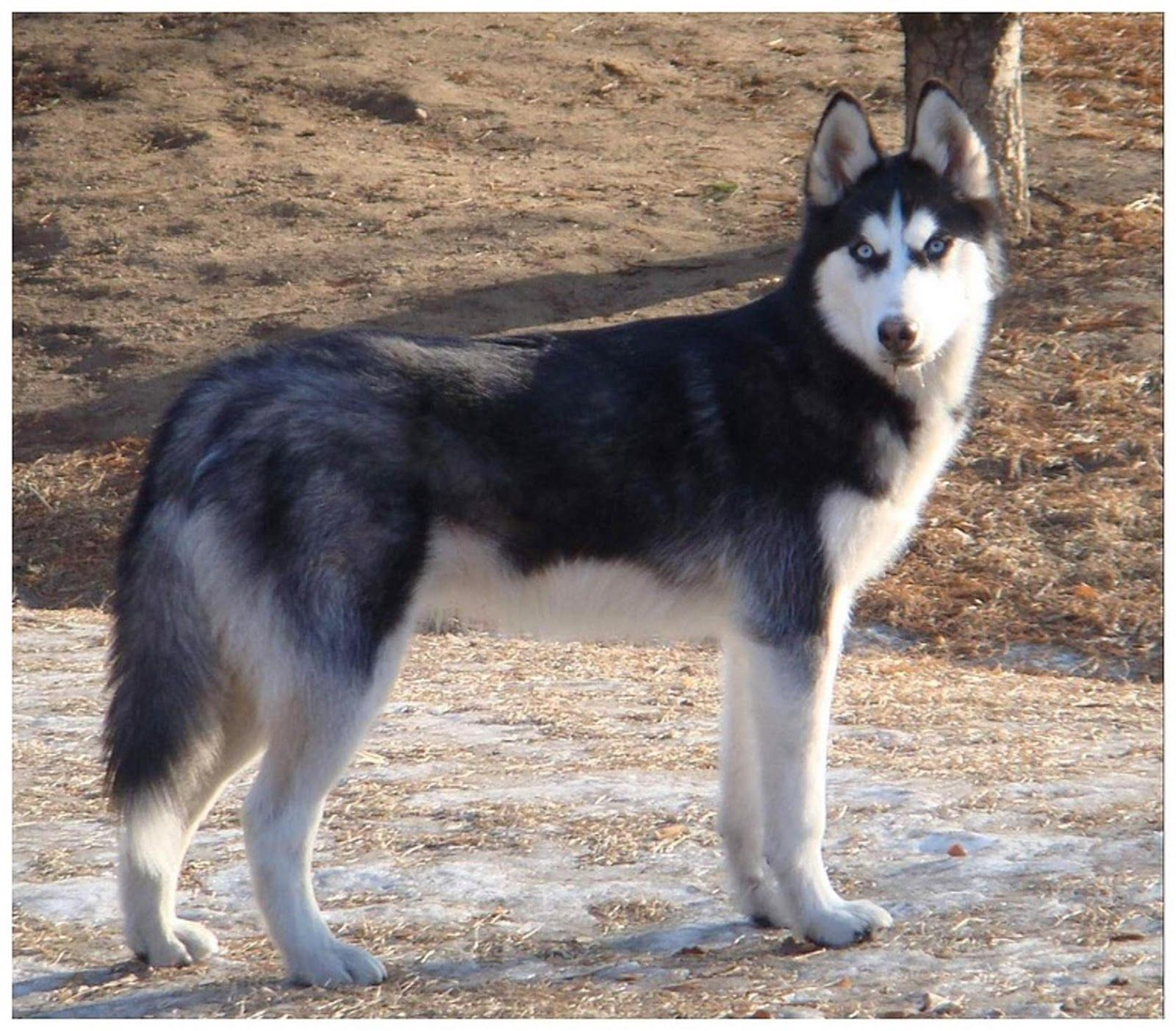 Saint Bernard Husky Mix So I Get Husky Husky Mix Wolf