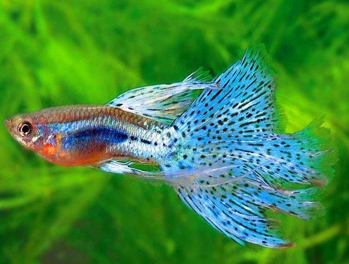 Types Of Guppies Guppies Are A Very Easy To Breed Fish Species They Also Adapt Quickly To Their Environment And This Aquarium Fish Guppy Fish Tropical Fish