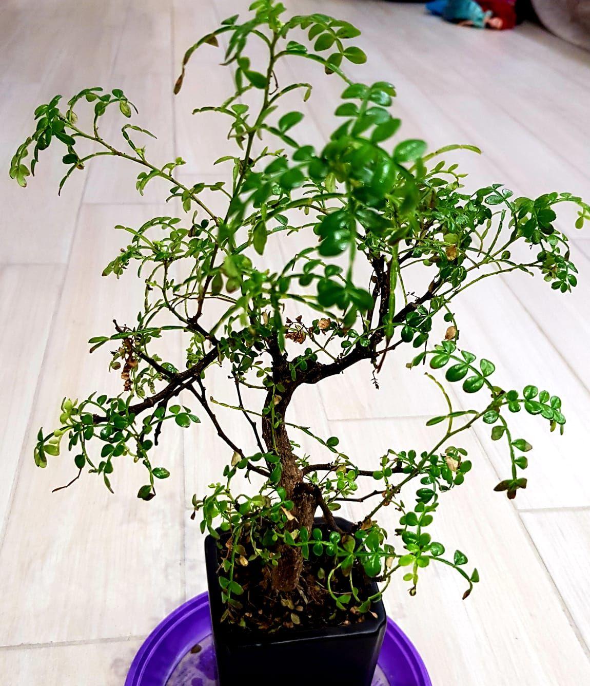 primo bonsai pepper tree: chiedo consigli 6da222b67e486f5dba00bd610223c9d8