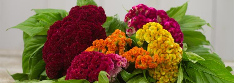 Cocks Comb Celosia flowers soft and fun to touch for a