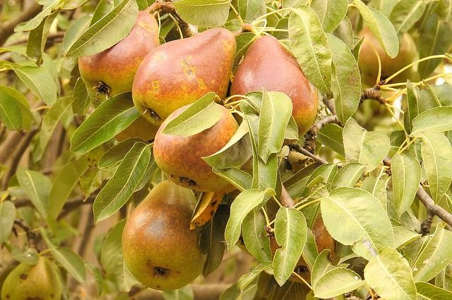 Blake S Pride Pear Tree Cold Hardy Medium To Large Golden Fruit